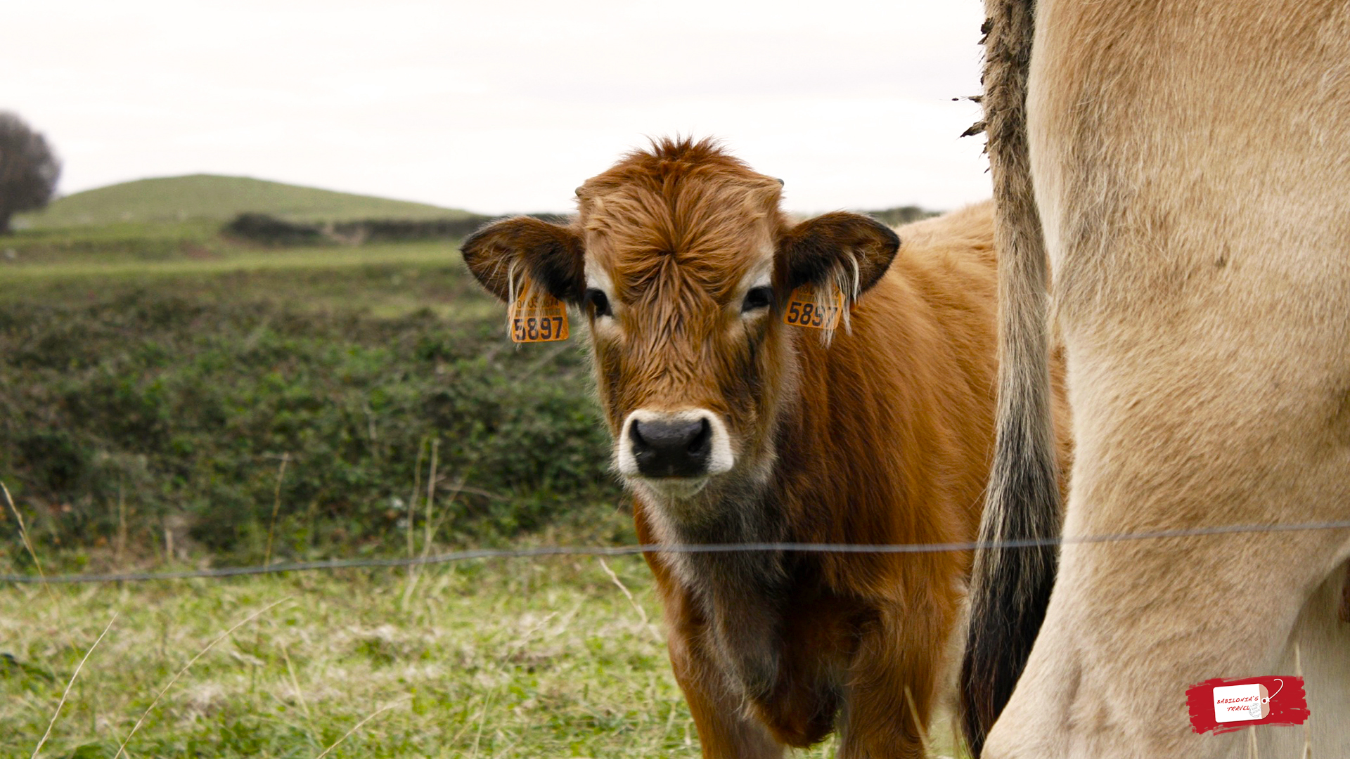 vaca asturias