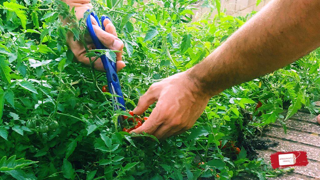tomates eco